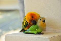 在马尔代夫14的鹦鹉 库存图片