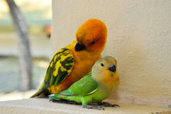 在马尔代夫11的鹦鹉 免版税库存照片