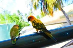 在马尔代夫12的鹦鹉 库存图片