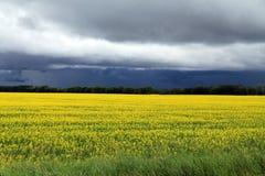 在马尼托巴油菜的领域的黑暗,不祥的云彩在开花的 库存图片