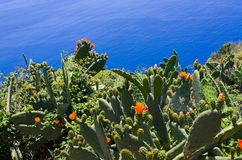 在马德拉岛,葡萄牙的海岸的仙人掌 库存图片