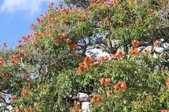 在马德拉岛, Spathodea campanulata的开花的槭叶瓶木 免版税库存图片