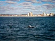 在马德林港的脊美鲸飞翅 图库摄影