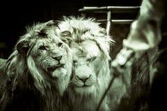 在马戏两公狮子面对温驯谁在他的手上拿着一条鞭子在黑白 免版税图库摄影