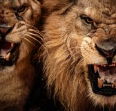 在马戏的狮子 免版税库存图片