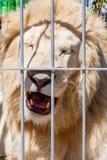 在马戏的白色狮子 库存照片