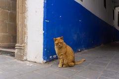 在马拉喀什和索维拉街道上的街道猫在摩洛哥在渔港和麦地那在墙壁附近 图库摄影