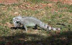 在马提尼克岛的一点安替列斯群岛鬣鳞蜥 免版税库存照片