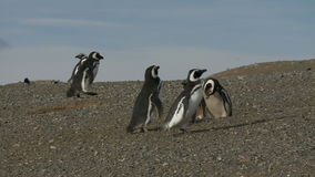 在马格达莱纳海岛智利上的企鹅 股票录像