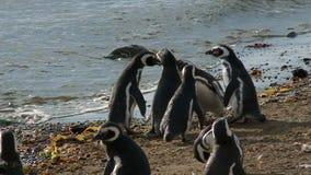 在马格达莱纳海岛智利上的企鹅 影视素材