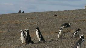在马格达莱纳海岛智利上的企鹅 股票视频