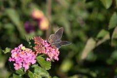在马樱丹属布什的宏观开放飞过的翅上有细纹的蝶蝴蝶 免版税库存照片