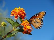 在马樱丹属布什的一只女王蝴蝶 库存照片