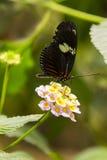 在马樱丹属花的共同的Longwing蝴蝶 免版税库存图片