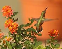 在马樱丹属花的红褐色蜂鸟 免版税库存照片