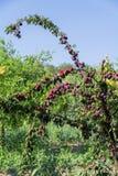 在马略卡的新鲜的桃树 印加人,马略卡,西班牙 免版税库存图片