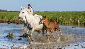 在马的车手吃草在沼泽的Camargue马 免版税库存图片
