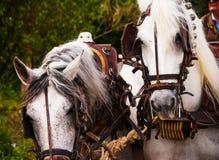 在马的Closup在一个乘坐的展示期间的鞔具在旅游镇 免版税库存照片