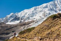 在马纳斯卢峰冰川前面的老牛在马纳斯卢峰在N的电路艰苦跋涉 库存照片