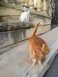 在马耳他的街道猫 免版税库存照片