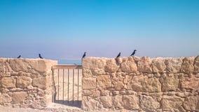 在马萨达堡垒全景的背景的寒鸦在以色列 库存图片