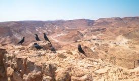 在马萨达堡垒全景的背景的寒鸦在以色列 免版税库存图片