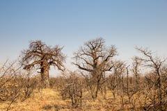 在马蓬古布韦国家公园,南非沙漠风景的两棵大猴面包树树  免版税图库摄影