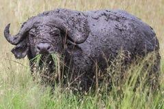 在马赛马拉国民的肮脏的非洲水牛 库存照片