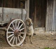 在马车车轮的绵羊 免版税库存图片