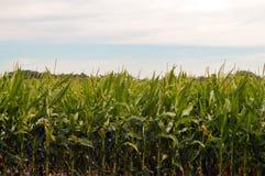 在马里兰的东部岸的玉米scape 免版税库存照片