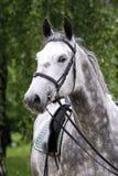 在马鞍下的Lipizzaner公马在美好的动物农场夏天 图库摄影