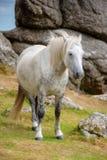 在马鞍突岩,达特穆尔,德文郡英国附近的达特穆尔小马 免版税库存照片