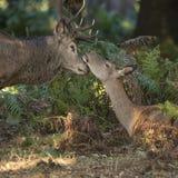 在马鹿雄鹿之间的美丽亲密的嫩片刻和后面 库存图片