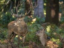 在马鹿雄鹿之间的美丽亲密的嫩片刻和后面 库存照片