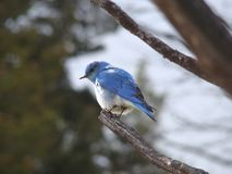 在马默斯斯普林斯的西部蓝鸫 免版税图库摄影