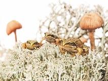 在驯鹿地衣的三只微小的青蛙在两个蘑菇之间 库存图片