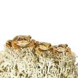 在驯鹿地衣的三只微小的青蛙 库存图片