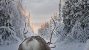 在驯鹿的鹿角 库存照片