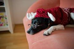 在驯鹿衣服的逗人喜爱的黑白狗在一个红色沙发放置 库存照片