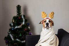 在驯鹿头饰带的狗在圣诞树前面 免版税库存图片