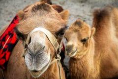 在骆驼和她的小牛,印度的近景 免版税库存图片