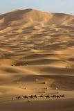 在骆驼撒哈拉大沙漠牛拉车旅行间 图库摄影