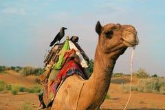 在骆驼的乌鸦 库存图片