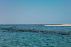 在骨骼附近岸的海狗游泳巨大的牧群在Th的 免版税库存照片