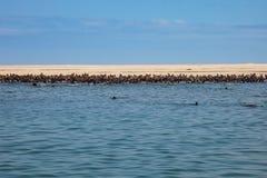 在骨骼附近岸的海狗游泳巨大的牧群在Th的 免版税图库摄影
