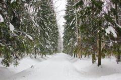 在高冷杉木中的公园道路 免版税库存照片