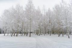 在高压下的桦树由雪 免版税库存图片