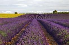 在高原De Valensole的向日葵和淡紫色领域 图库摄影