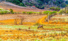 在高地的一头孤独的水牛 库存照片