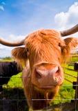 在高地的长毛的母牛 免版税库存图片
